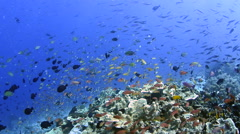 Anthias and Corals  Stock Footage