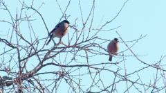 Two bullfinch Pyrrhula pyrrhula females feeding in bush Stock Footage
