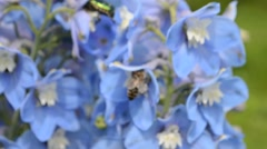 Blue delphinium close up and insects, beetles and bees - stock footage
