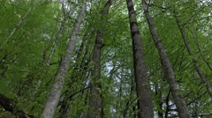 Large trees at hillside, greenwood area, leafy forest, tilt up shot - stock footage
