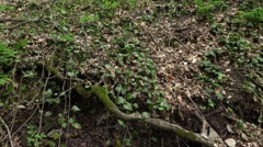 Many spring sources from ground, water flow under mossy tree root, at forest Stock Footage