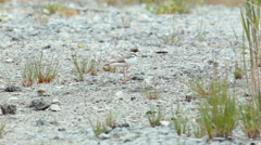 Little ringed plover Charadrius dubius a bit worried Stock Footage