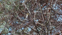Wood warbler Phylloscopus sibilatrix singing in lunchtime Stock Footage