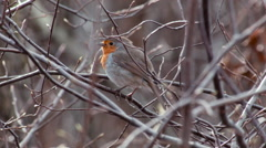 European robin Erithacus rubecula singing close and beautiful Stock Footage