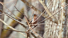 Chaffinch Fringilla coelebs singing Stock Footage