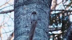 Pygmy owl Glaucidium passerinum is in incomprehension Stock Footage