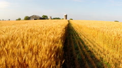 Walking through a golden wheatfield to barn Stock Footage