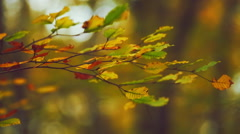 Beech forest in autumn Stock Footage