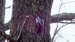 Great spotted woodpecker Dendrocopos major making a hole Stock Footage