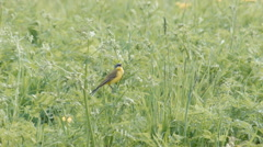 Yellow wagtail Motacilla flava singing in meadow Stock Footage
