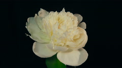 White Peony Flowering Timelapse 4k - stock footage