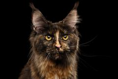 Closeup Maine Coon Cat Gaze Looks Isolated on Black Background - stock photo