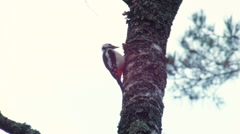 Great spotted woodpecker Dendrocopos major vs the pinecone Stock Footage