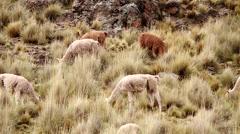 Shepherdess with Aplaca flock in meadowland of Andes in Peru Stock Footage