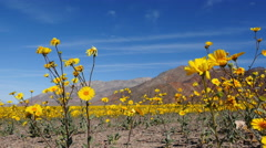 Dolly - Death Valley Desert Flower Super Bloom - Spring Stock Footage
