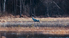 Common crane Grus grus is minding her own business Stock Footage