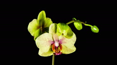 Time Lapse - Blooming White Orchid Phalaenopsis Flower with Black Background - stock footage