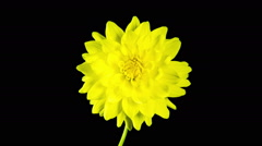 Time lapse - Blooming Yellow Dahlia Flower with black background - stock footage
