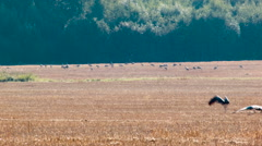 Flock of common cranes Grus grus far in the stubble field Stock Footage