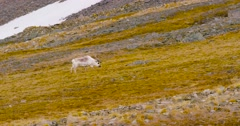 Reindeers grazing grass in the mountains at Svalbard - stock footage