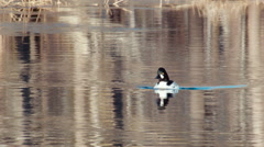 Common goldeneye Bucephala clangula swiming nearby Stock Footage