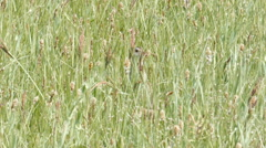 Corn crake Crex crex is worried in a meadow Stock Footage