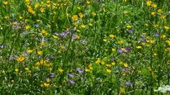 Colourful wildflowers in Alpine meadow in the Alps in summer Stock Footage