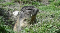 Alpine marmot (Marmota marmota) leaving entrance of burrow in the Alps Stock Footage