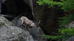 Alpine ibex (Capra ibex) traversing mountain rock face in the Alps in spring Stock Footage