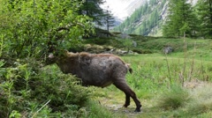 Alpine ibex (Capra ibex) trashing shrub with horns in the Alps in spring Stock Footage