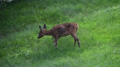 European roe deer doe leaving grassland at forest edge Stock Footage