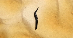 Close up of a fat black leech in shallow water Stock Footage