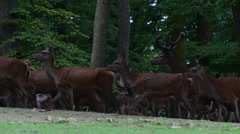 Large herd of red deer hinds and stags in forest spring Stock Footage