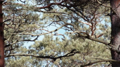 Stock dove Columba oenas is up far in the pine - stock footage