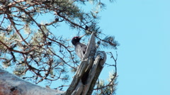 Black woodpecker Dryocopus martius has found the perfect spot - stock footage
