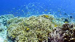 Anthias and Damsel Fish Swimming Over Coral 5 Stock Footage