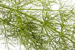 extreme close up  stem and leaves of fennel plant - stock photo