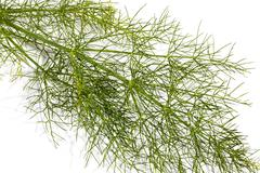 Close up Stem andLleaves of Fennel Plant Stock Photos