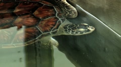 Sea turtle swims in a pond in Galle, Sri Lanka. Stock Footage