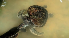 Sea turtles swim in a pond in Galle, Sri Lanka. Stock Footage