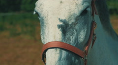 A white horse staring at the camera and looks direct. warm colours Stock Footage