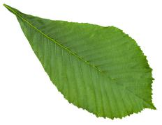 Aesculus (horse chestnut) green leaf isolated - stock photo