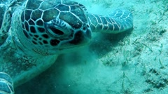 Movie clip - Loggerhead sea turtle Caretta caretta - Red Sea - Marsa Alam - stock footage