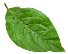 Green leaf of Syringa Josikaea (hungarian lilac) Stock Photos