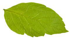 back side of green leaf of Acer negundo tree - stock photo