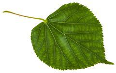 green leaf of Tilia cordata tree isolated - stock photo