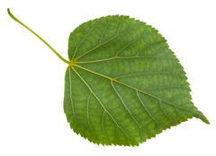 back side of green leaf of Tilia cordata tree - stock photo