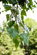 leaves of poplar tree and fluff on catkins - stock photo