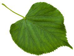 green leaf of Tilia platyphyllos tree isolated - stock photo