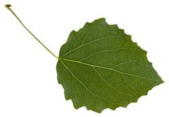 Leaf of aspen (Populus tremula) tree isolated Stock Photos